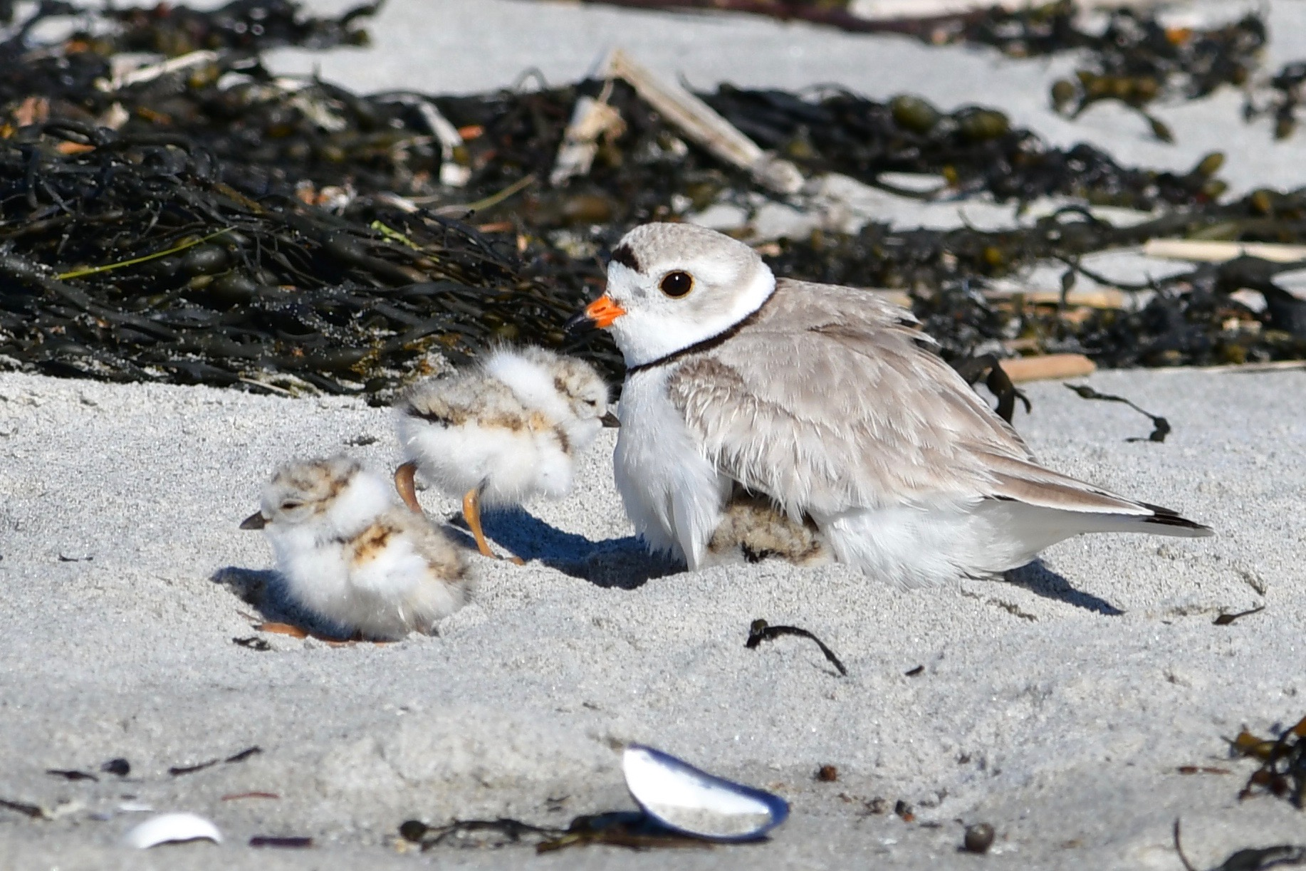 plover with 2 chicks